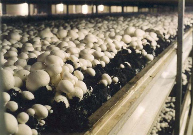 شراء Les champignons
