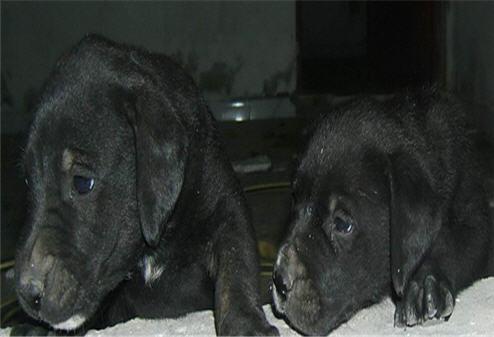 شراء Chien Labrador Noir