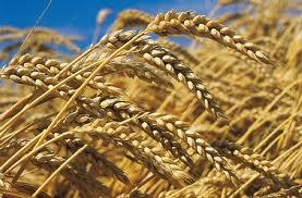 شراء Du blé Tendre
