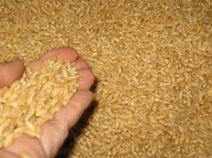 Le Durum Wheat Origin Russian