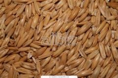 القمح الطري