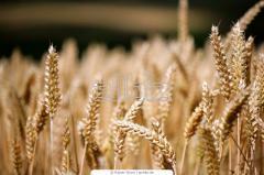 Wheat Origin Ukraine/Maldovia