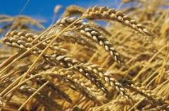 Du blé Tendre