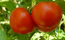Tomate Rondes