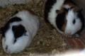 Hamster Rongeur